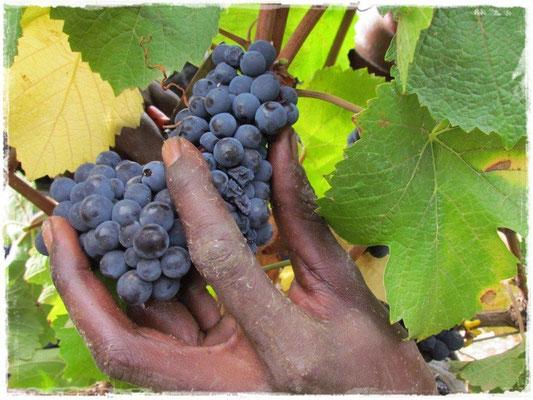 Rote Trauben werden geerntet