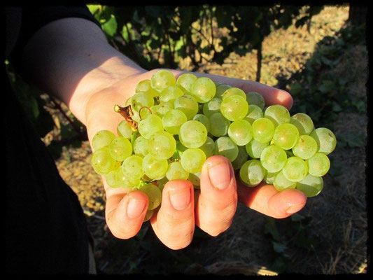 Weintrauben auf der flachen Hand
