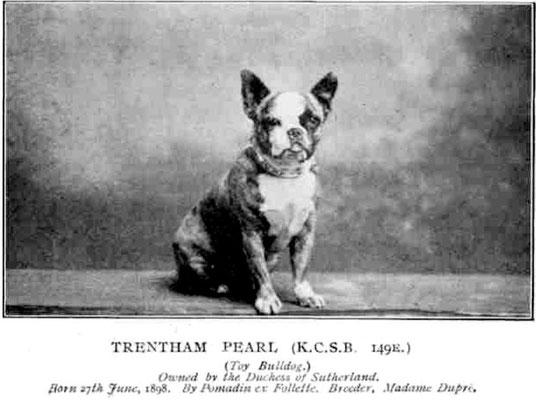 Toy Bulldog Geb. 1896, Trendham Pearl, Züchter Madame Dupre