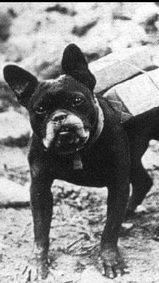 Französische Bulldogge im 1. Weltkrieg als Transporthelfer für Holz