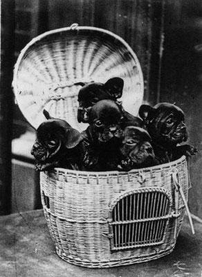 Welpen 1932