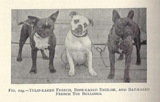 von links nach rechts : Tulpen Ohren - Franzose, Rosen Ohren- Engländer, Stehohren- Franzose-Toy Bulldog