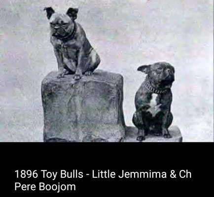 Toy Bulls 1896