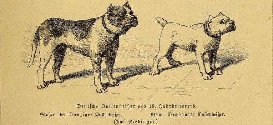 Deutsche Bullenbeisser im 18. Jahrhundert