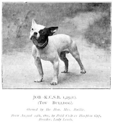 Toy Bulldog um 1800. Damals hießen die Französischen Bulldoggen Toy Bulldog bis dann später der Name Französische Bulldogge bekannt wurde.