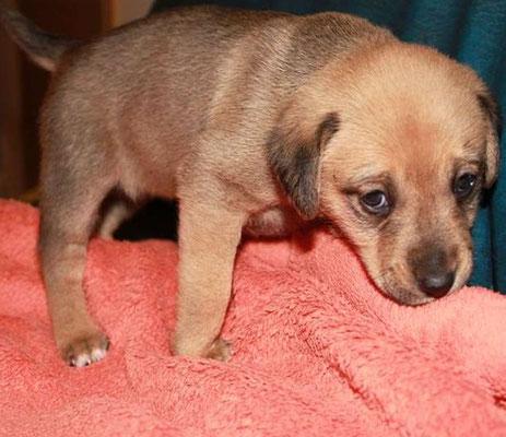 Welpe mit Verdacht auf Flat Puppy Syndrom
