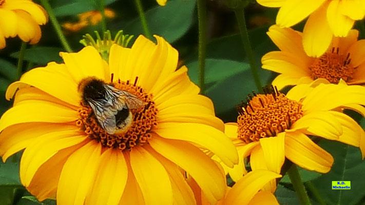 Erdhummel auf der Blüte eines Sonnenauges von K.D. Michaelis