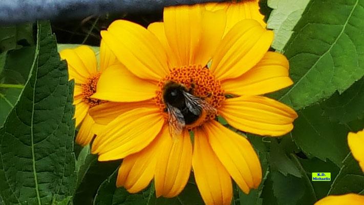 Steinhummel auf der Blüte eines Sonnenauges von K.D. Michaelis