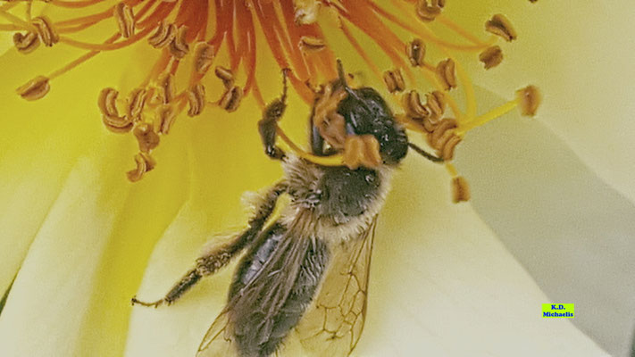 Nahaufnahme einer gelben Stockkrose/Wildrose mit Biene zu Besuch von K.D. Michaelis