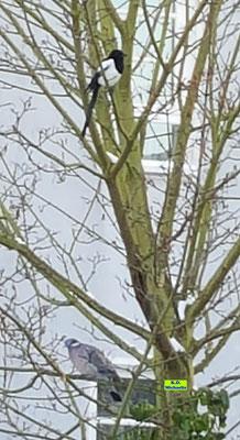 Eine Elster und eine Ringeltaube ruhen sich von der winterlichen Futtersuche im Baum aus von K.D. Michaelis