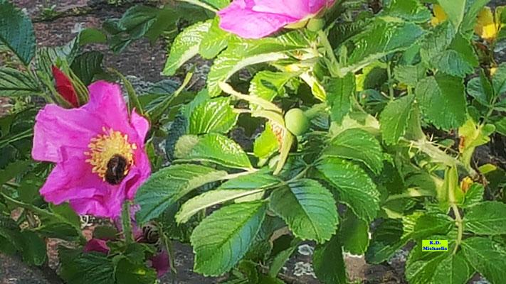 Rosa Stockrose/Wildrose mit Hummel zu Besuch von K.D. Michaelis