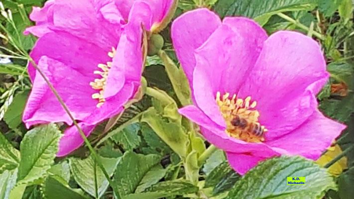 Rosa Stockrose/Wildrose mit Biene zu Besuch von K.D. Michaelis