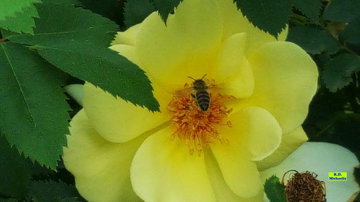 Gelbe Stockrose/Wildrose mit Biene zu Besuch von K.D. Michaelis