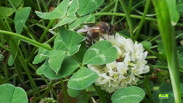 Nahaufnahme einer Weißkleeblüte mit Biene von K.D. Michaelis