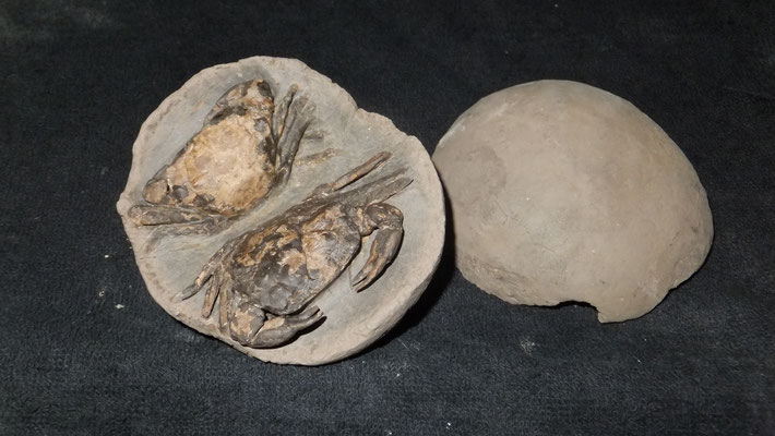 Double Chaceon ,Upper Oligozän ,26 mill years, found Lyby-Strand /Danmark
