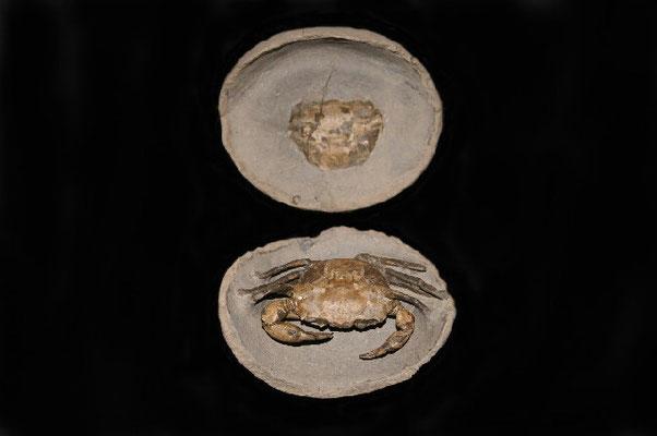 1 Chaceon ,Upper Oligozän ,26 mill years, found Lyby-Strand /Danmark