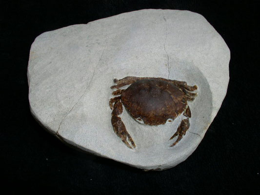 Very rare specimens Harpactoxanthopsis quadrilobate,Eocene Period 50 Mill.years ago,Heiligenhafen Germany