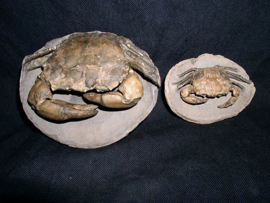 Left side -Coeloma sp ,rare specimens /right side the Chaceon