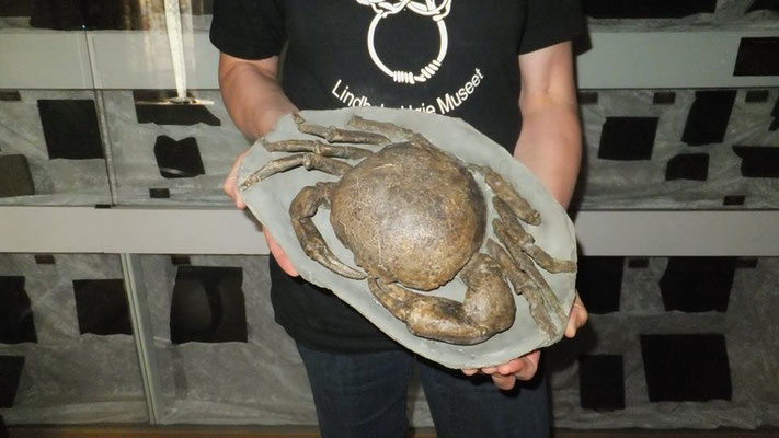 Tumido carcinus giganteus.Miocene Period,15 Mill.years ago/New Zealand.Adult big size Tumido crab ......