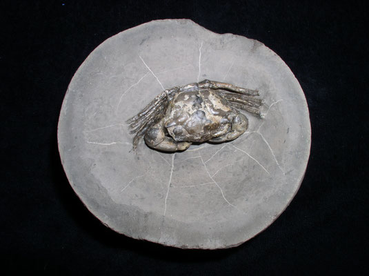 Chaceon in big round nodule (Diameter 14cm) Upper Oligozän ,26 mill years, found Lyby-Strand /Danmark