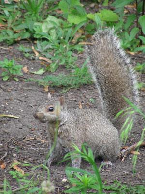 Chicago Squirrel