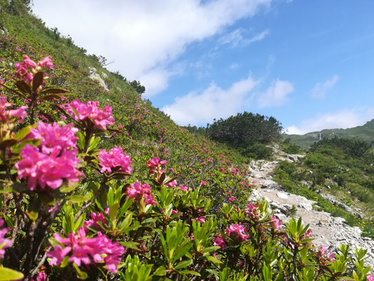 Wunderschöne Alpenrosen am Wegesrand