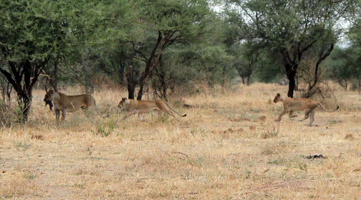 Une lionne capture devant nous un petit phacochère et le donne à ses petits