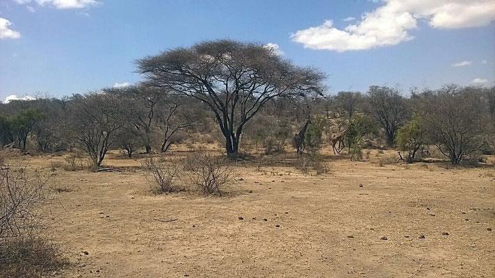 Le long de la piste des girafes, des impalas, des gazelle de Waller...