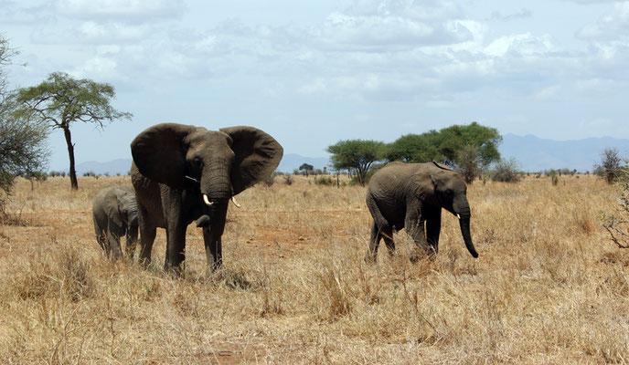 Tarangire le parc des éléphants