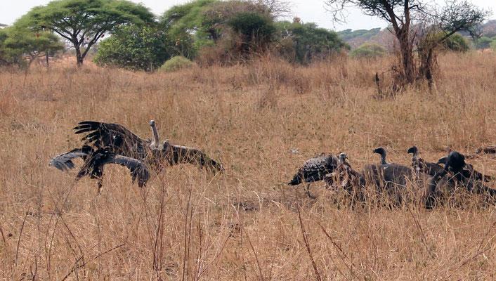 Vautours sur une carcasse de gnou