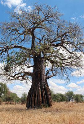 Tarangire le parc des baobabs