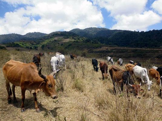 Traversée des troupeaux des massaïs
