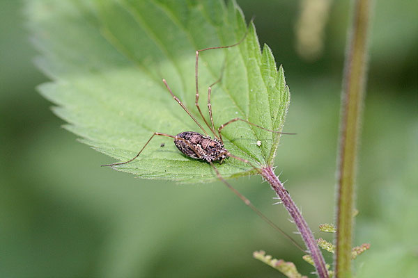 Weberknecht (Phalangium opilio)