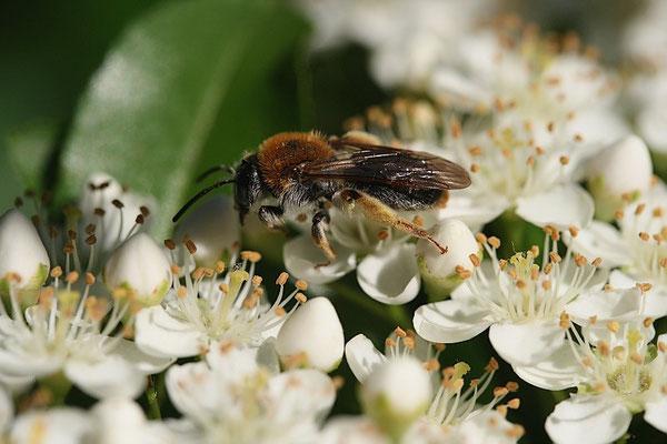 Hosenbiene (Dasypoda hirtipes)