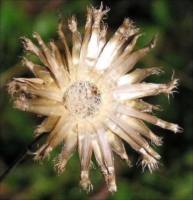 Fruchtboden Flockenblume