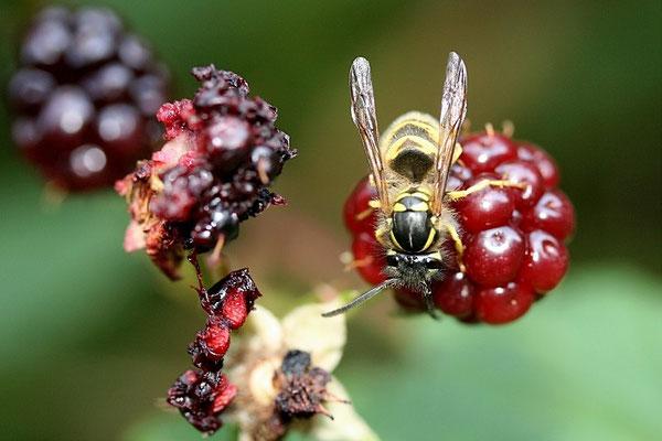 Wespe (Vespula vulgaris)