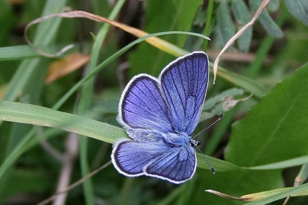 Hauhechel Bläuling (Polyommatus icarus)