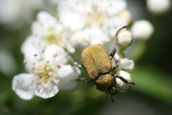 Goldstaub-Laufkäfer (Hoplia farinosa)