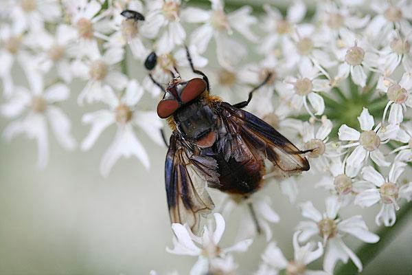 Raupenfliege (Alophora hemiptera) Männchen