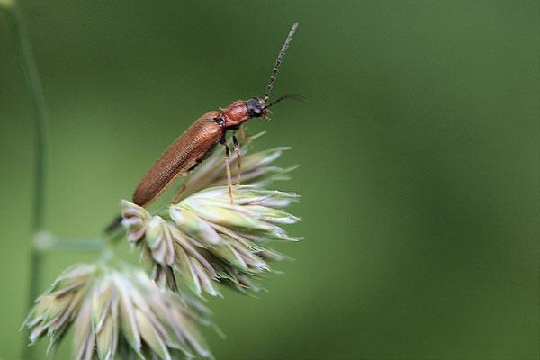 Saatschnellkäfer ((Agriotes lineatus)