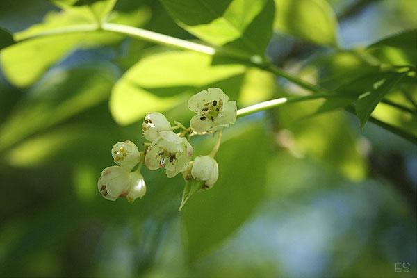 Blüte der Elsbeere)