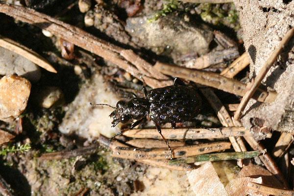 Raschkäfer (Elaphrus riparius) Laufkäfer