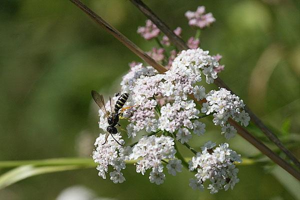 Knotenwespe (Cerceris arenaria)
