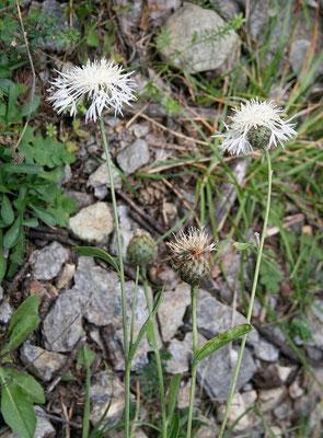 Bleiche Flockenblume