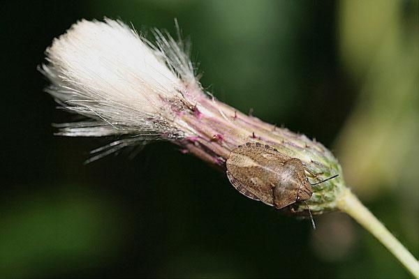 Getreidewanze (Eurygaster maura)