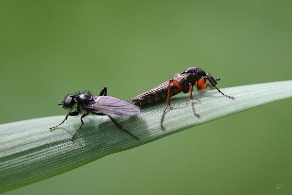 Märzfliegenpaar