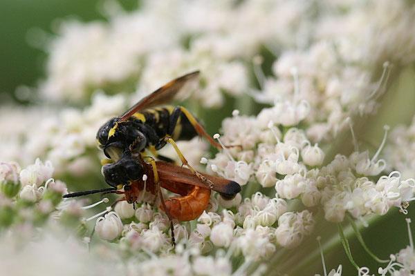 Wespe mit Weichkäfer