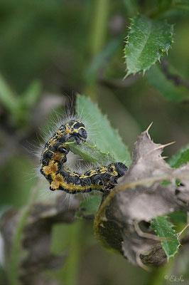Raupe des Mondvogels (Phalera bucephala)