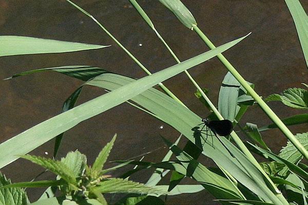 Gebänderte Prachtlibelle (Calopteryx spendens)