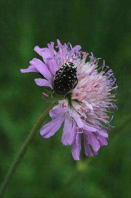Trauerrosenkäfer (Oxythyrea funesta)